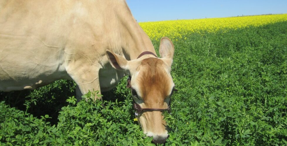 cows-Donna in canola 011